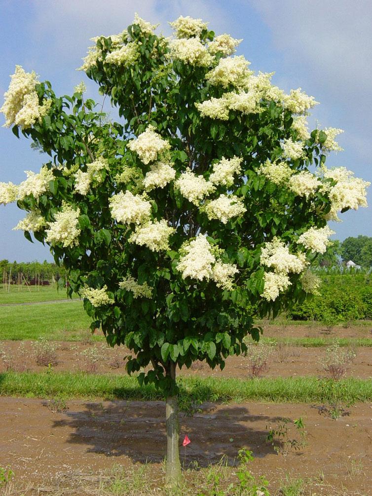 Ivory Silk Japanese Tree Lilac  Syringa Reticulata